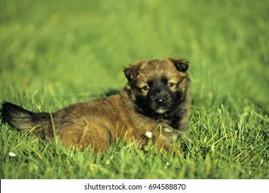 Harzer Fuchs (Harz Fox) puppy (Canidae), German dog breed