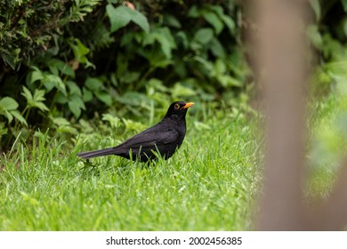 Has the blackbird spotted a worm or the photographer?