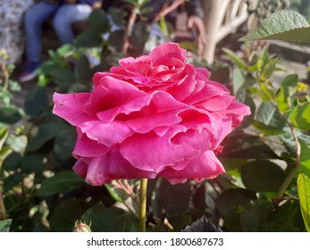 has the Latin name Rosa chinensis, a romantic rose with pink petals