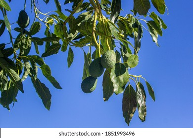 Hass variety green Avocado, a nutrient rich fruit of the tree species Persea americana, home growing in the Algarve region, South Portugal.