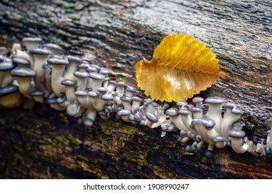 Hat of oyster mushroom and yellow autumn leaf on wet tree bark