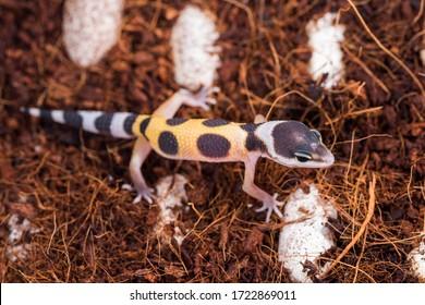 Hatched from an egg little lizard Eublepharis Macularius is cute leopard gecko.