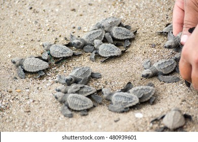 hatching baby turtles free to the ocean
