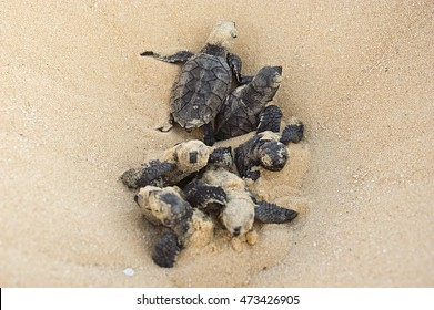 Hatching  Found these hawksbill turtle hatchlings on North East Island, an important sea turtle rookery, off Groote Eylandt.