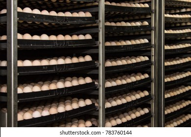 hatching incubator with eggs