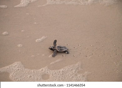 Hatchling baby loggerhead sea turtles Caretta caretta climb out of their nest and make their way to the ocean at dusk on Clam Pass Beach in Naples, Florida
