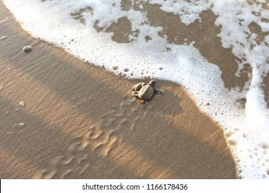 Hatchling baby loggerhead sea turtles Caretta caretta climb out of their nest and make their way