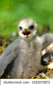 Hatchling the common kestrel (Falco tinnunculus, European kestrel, Eurasian kestrel, Old World kestrel) bird of prey species, falcon family Falconidae with open beak in nest, soft blurry background