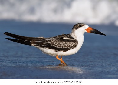 A hatch-year Black Skimmer standing at the water's edge along an Ocean City, MD beach