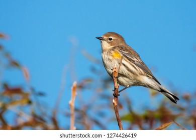 A hatch-year male Yellow-rumped Warbler perching on a branch