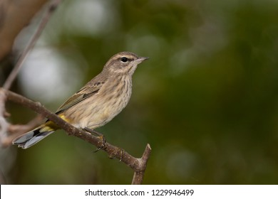 A hatch-year western Palm Warbler perching in a tree