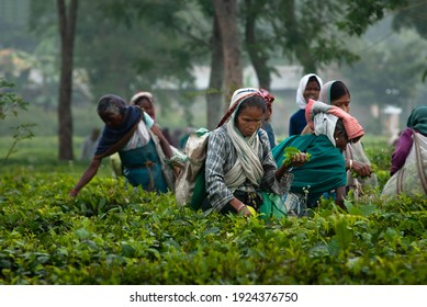 HATIKHULI, ASSAM, INDIA - DECEMBER 6, 2007 : Portrait of elder woman picker of Assam tea garden in lowland of Brahmaputra River Valley.
