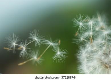 hats flying dandelion in the wind