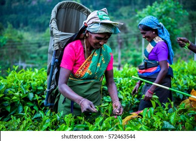 HATTON, SRI LANKA - JANUARY 24, 2017: A Tea Laborer was plucking Tea leaves in a Tea Garden in Hatton, Sri lanka. Tea is one of the principal source of foreign revenue in Sri Lanka.