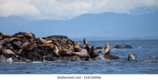 Haulout of Steller Sea Lions in Alaska