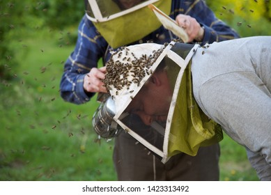 Hauts-de-France/France-May 7 2018: an older bee keeper uses a soft brush and a smoker to remove a swarm of honey bees off the protective hat of a younger bee keeper