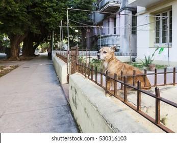 HAVANA, CUBA - DECEMBER 7, 2009: Mixed breed dog sitting behind the wall in Vedado
