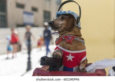 Havana, Cuba - March 2015. a costumed dog for tourists in havana streets.