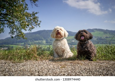 Havanase dogs sitting on hiking road in the sun in meadows and mountains