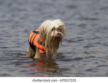 havanese dog at the beach
