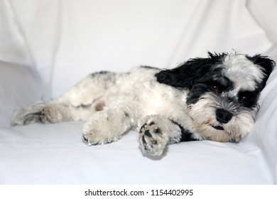 Havanese Dog. A beautiful Havanese Dog. Black and White fur.