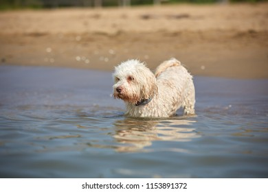 Havanese dog going swimming in the sea in Bibione, italy