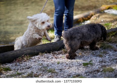 Havanese dog jumping out of a pond