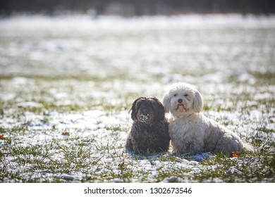 Havanese dog obedient waiting and looking outside in the snow