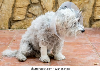 Havanese Dog with a Plastic Elizabethan  Collar for Protection after Surgery