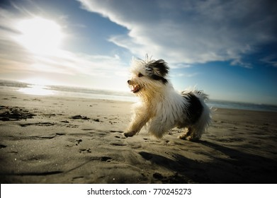 Havanese dog playing on the beach with blue sky and clouds