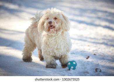 Havanese dog playing in the snow with ball
