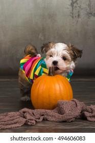 havanese dog with pumpkins halloween