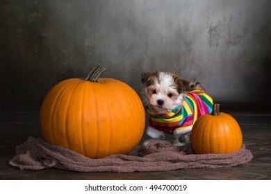 havanese dog puppy with halloween pumpkins