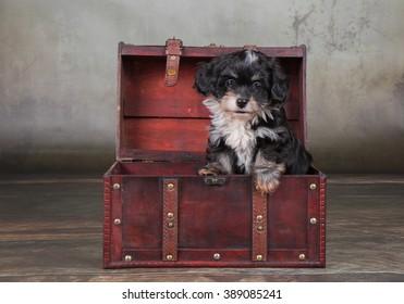 Havanese dog puppy in treasure chest