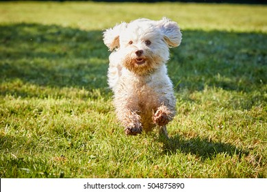 Havanese dog running and jumping on the green meadows