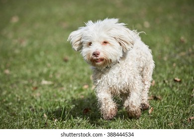 Havanese dog running on the grass in the park in springtime