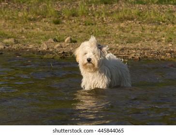 Havanese dog swimming