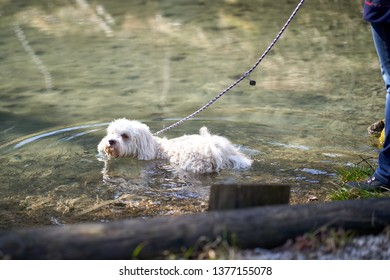 Havanese dog swimming in the pond