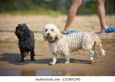 Havanese dog waiting for human friend on the beach in Bibione, Italy