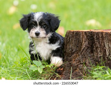Havanese Puppy in the garden