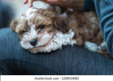 Havaneser Images, Stock Photos & Vectors | Shutterstock