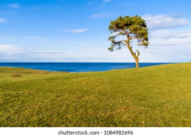 Havang, Sweden. A small lonely tree growing on a coastal hill. Evening sunshine over the open spring landscape.