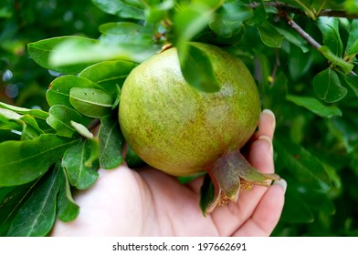 Have not yet ripe pomegranate on the tree