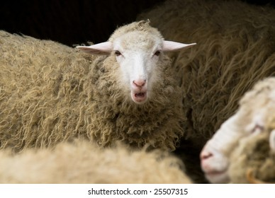 Have your voice heard! - Close-up of a herd of sheep, focus on the one looking straight into the camera while bleating