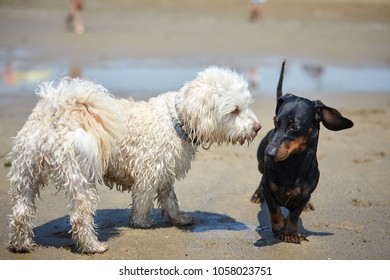 Havenese dogs and dachshound playing on the beach shore at the ocean water