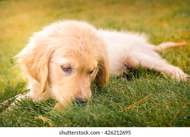 Having a day off, hanging at backyard! Golden Retreiver Portrait in the nature with green nature