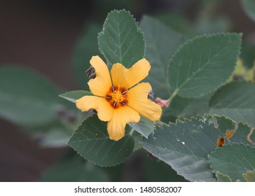 Hawaii Flower called Yellow 'Ilima (sida fallax)