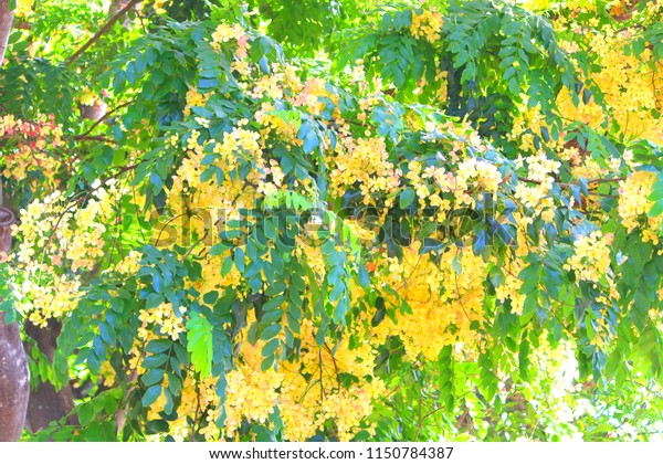 Hawaii golden shower tree