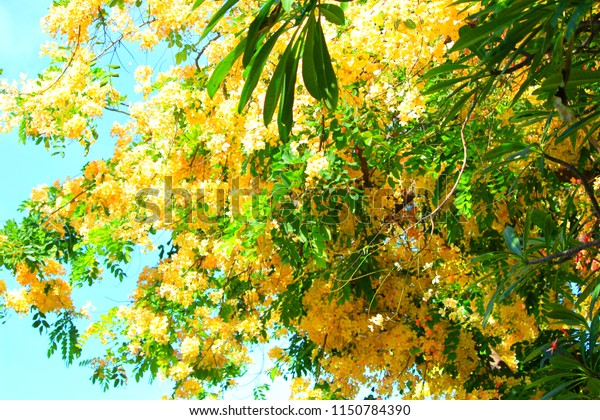 stock photo golden shower tree