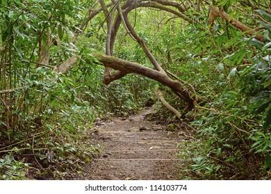 Hawaii, Island of Oahu, Manoa falls, A lush tropical jungle trail is a popular spot for tourists.